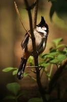 Bulbul červenouchý (Pycnonotus jocosus)